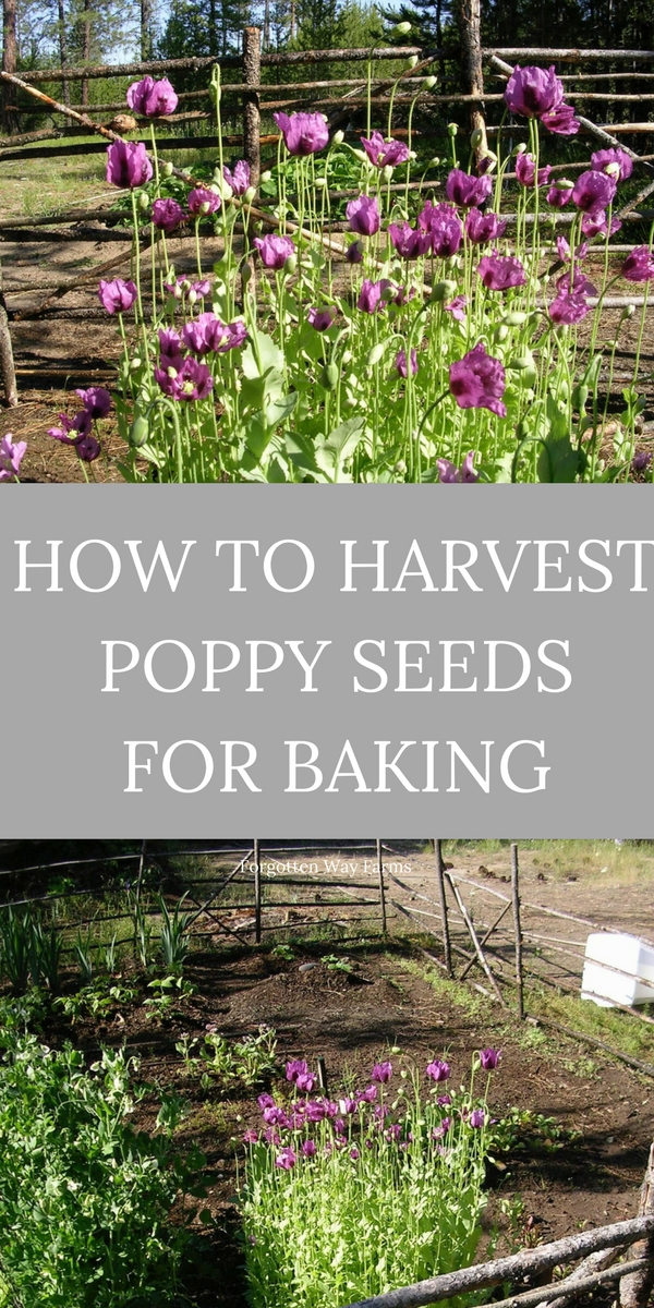 How to Harvest Poppy Seeds for Baking at Forgotten Way Farms!