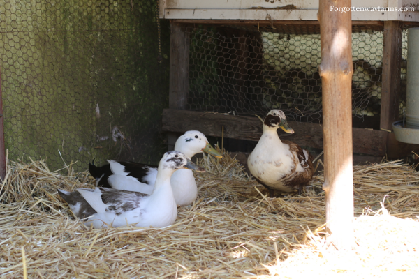 Three ducks nestled in the hay, outside.